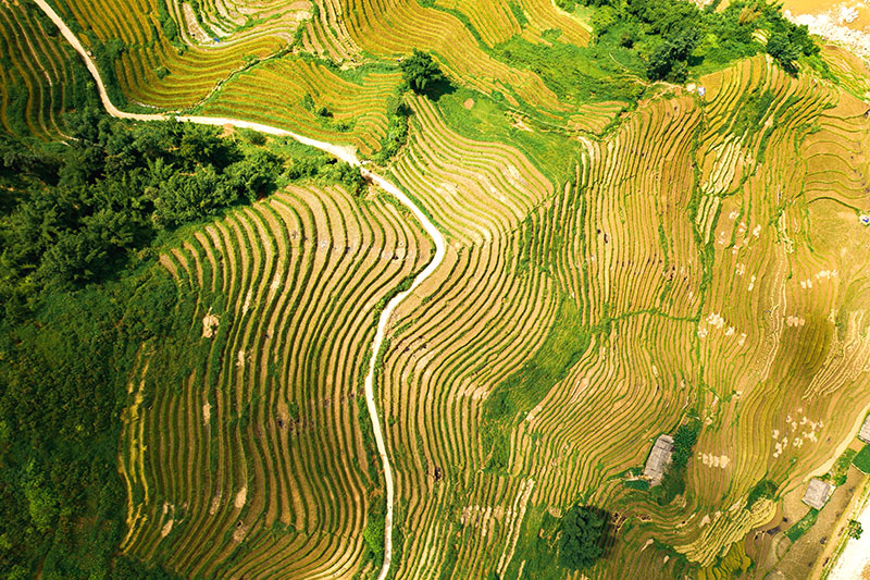 Vietnamese rice fields