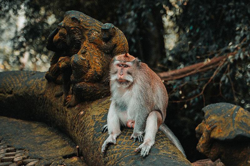 Bali temple monkey